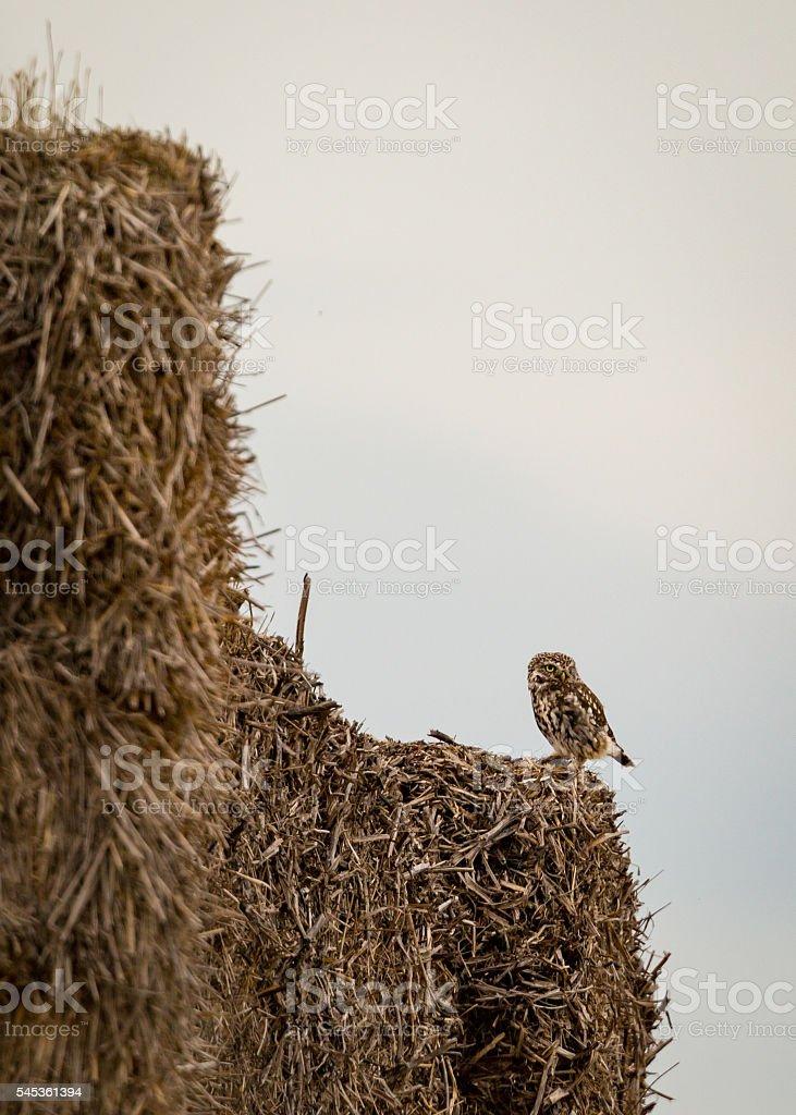 wild little owl sat on edge of hay bales.(Athene noctua) stock photo