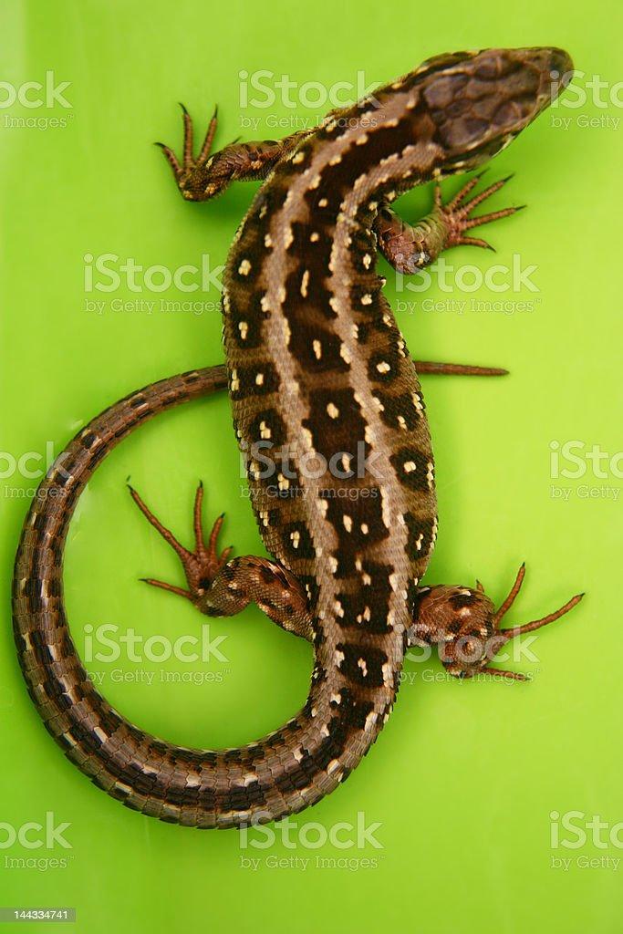 Wild lizard stock photo