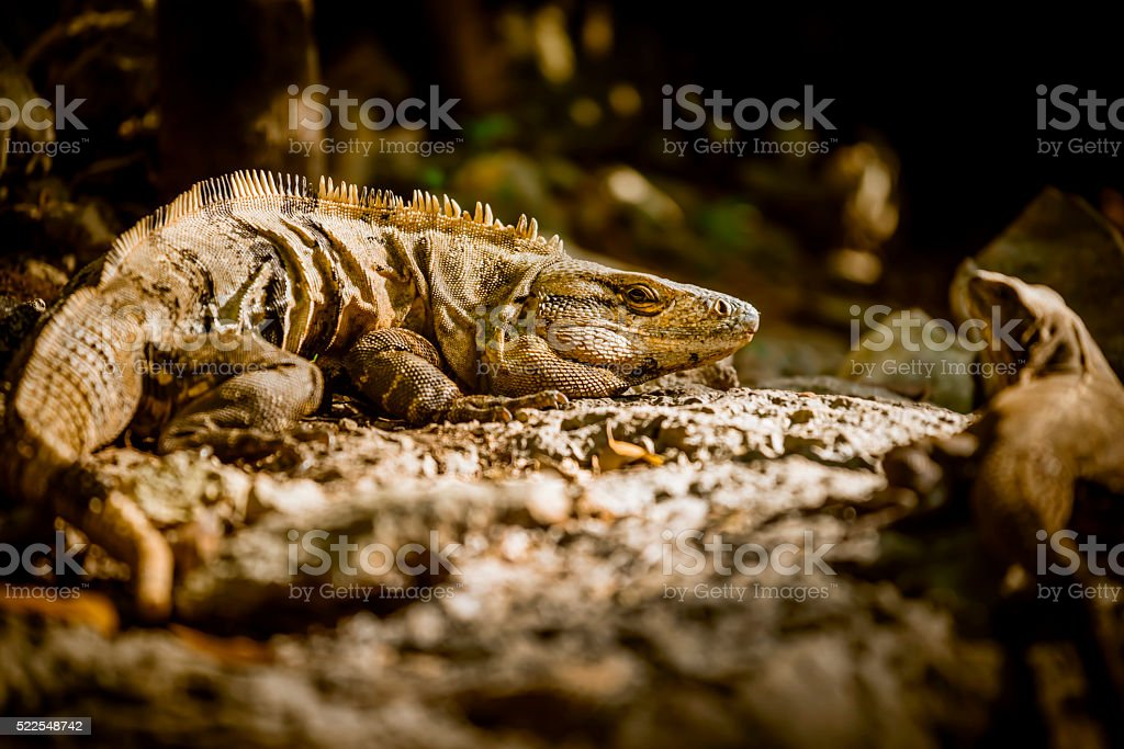 A pair of exotic wild lizards look at camera while laying on rock in...
