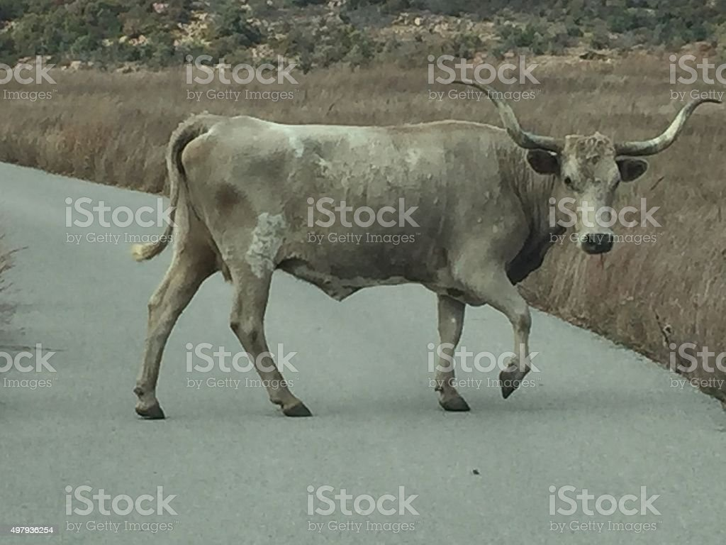 Wild Longhorn crossing a road stock photo