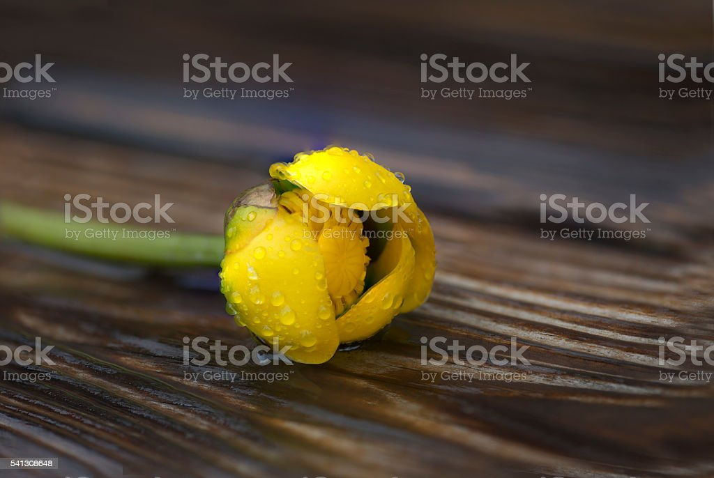 WIld lotus stock photo