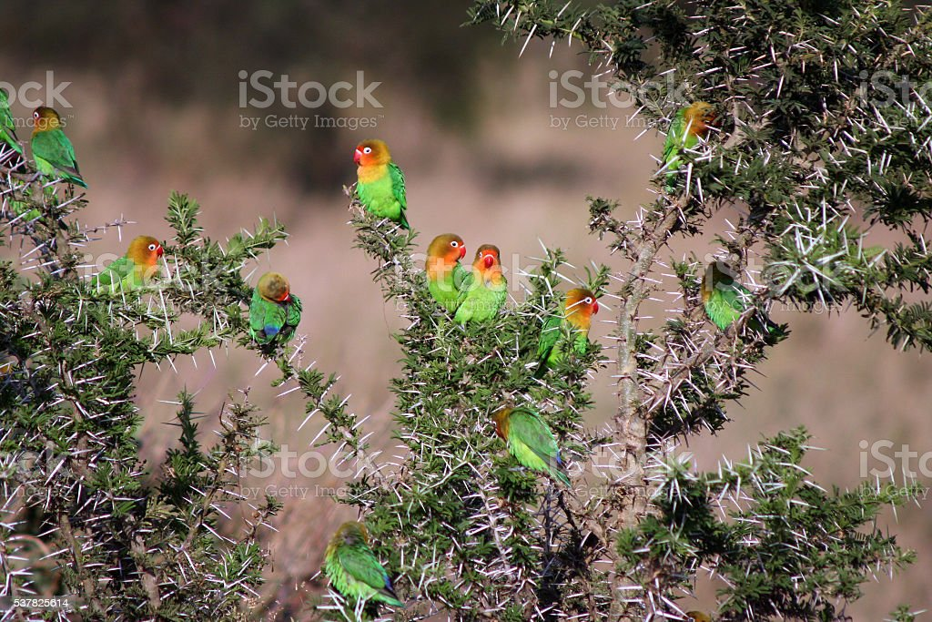 Wild Lovebirds in Thorn Tree stock photo