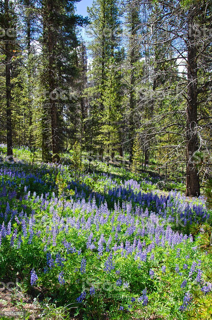 Wild Lupine Covers the Forest Floor stock photo