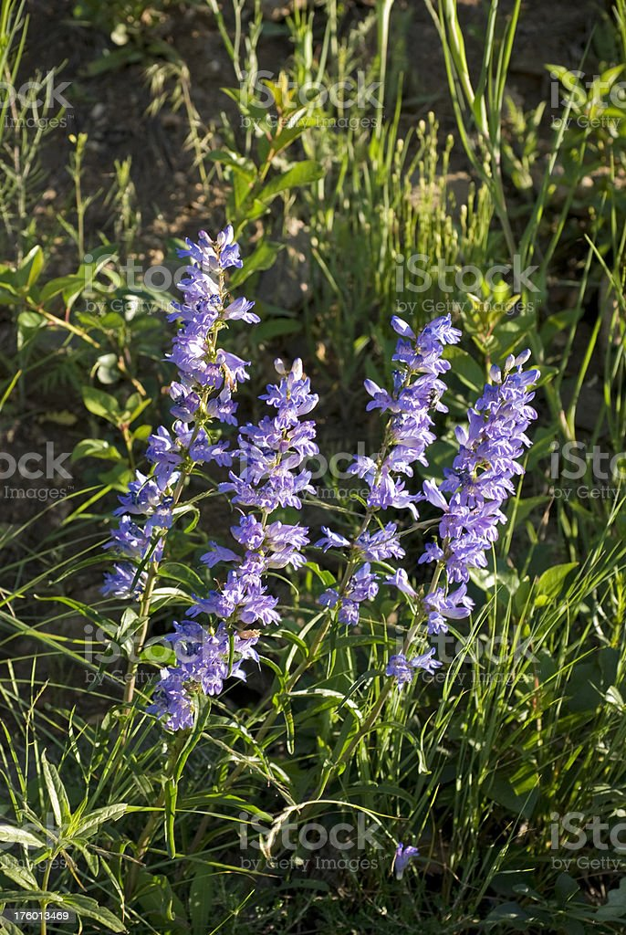 Wild Lupine stock photo
