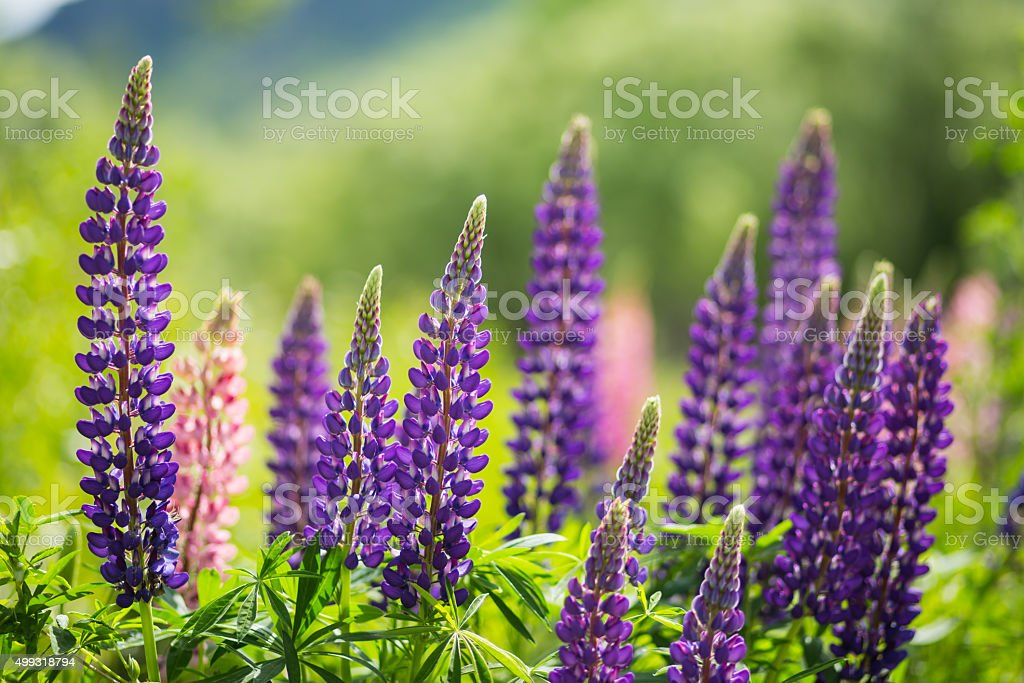 wild Lupins in Arrowtown, New Zealand stock photo