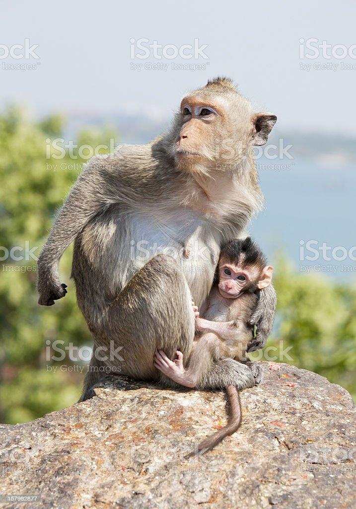 Wild Macaca monkey mother protecting her newborn baby. Thailand stock photo