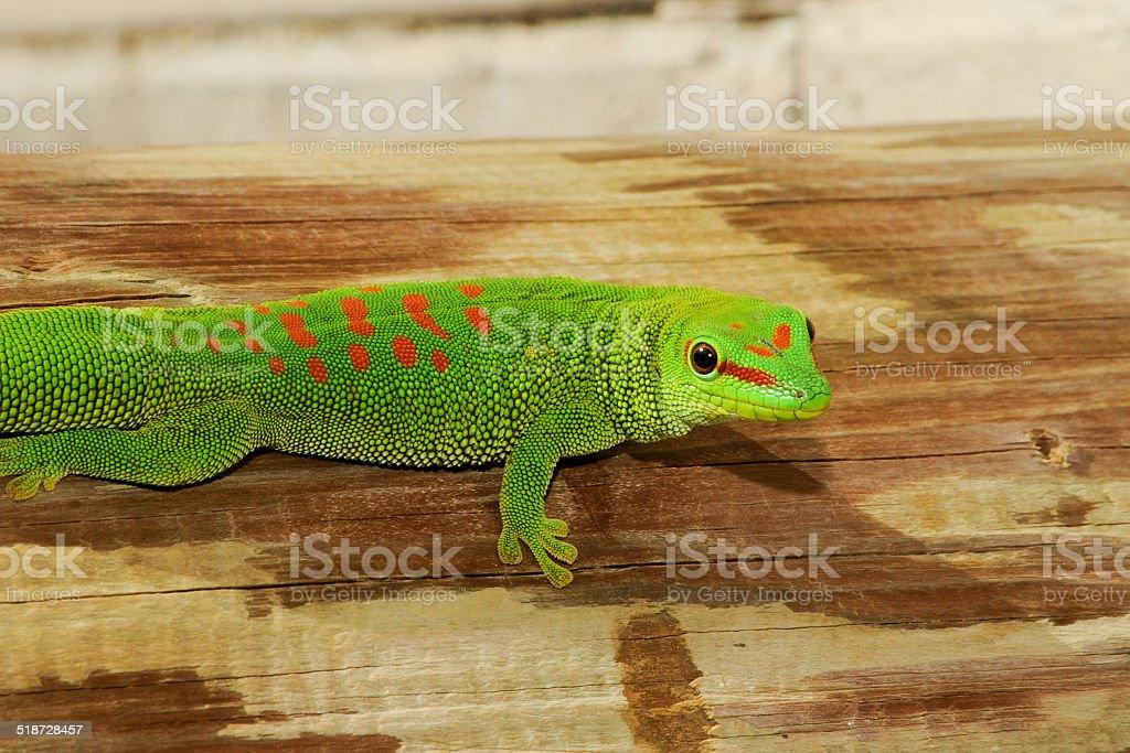 Wild Madagascar Giant Day Gecko stock photo