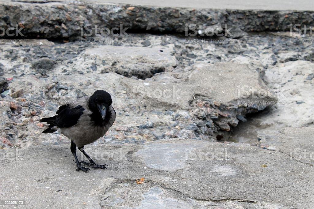 wild magpie stock photo