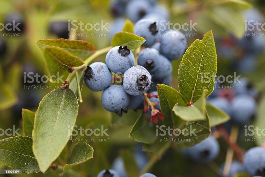 Wild Maine Blueberries on Bush royalty-free stock photo