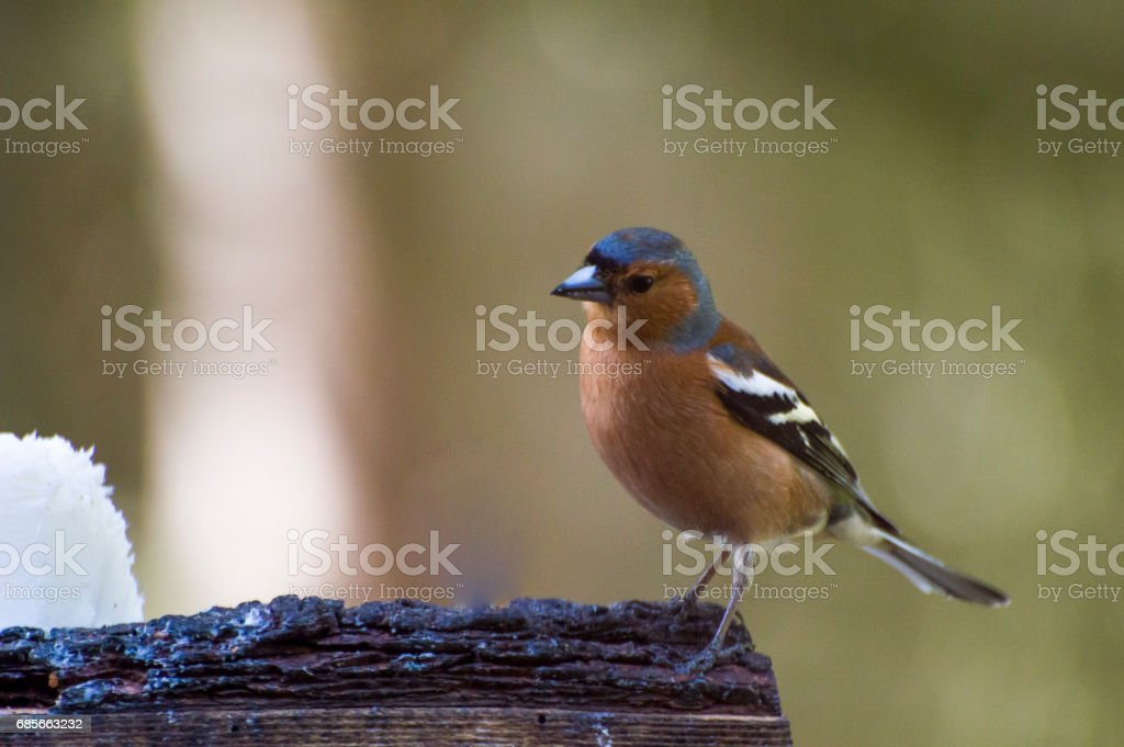 Wild Male Chaffinch stock photo