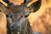 Wild male deer close up. Rutting season wet from wallowing.