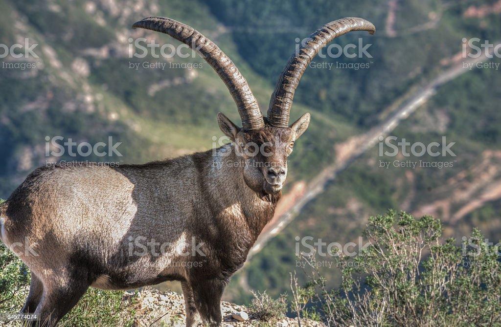 Wild male Iberian ibex - Montserrat - Catalonia stock photo