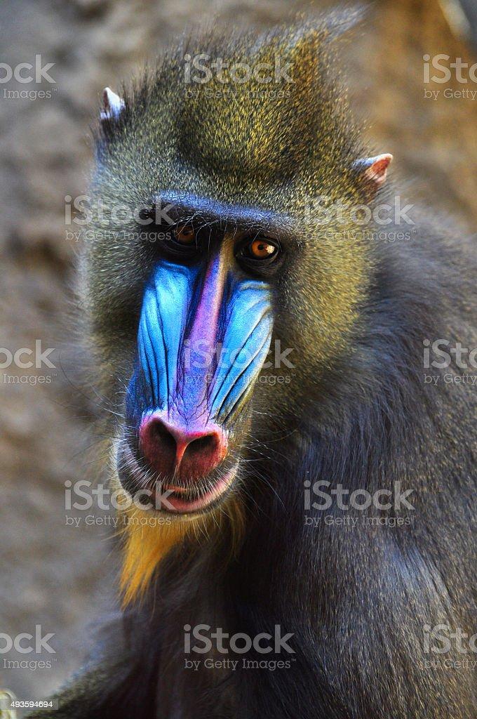 Wild male mandrill baboon stock photo