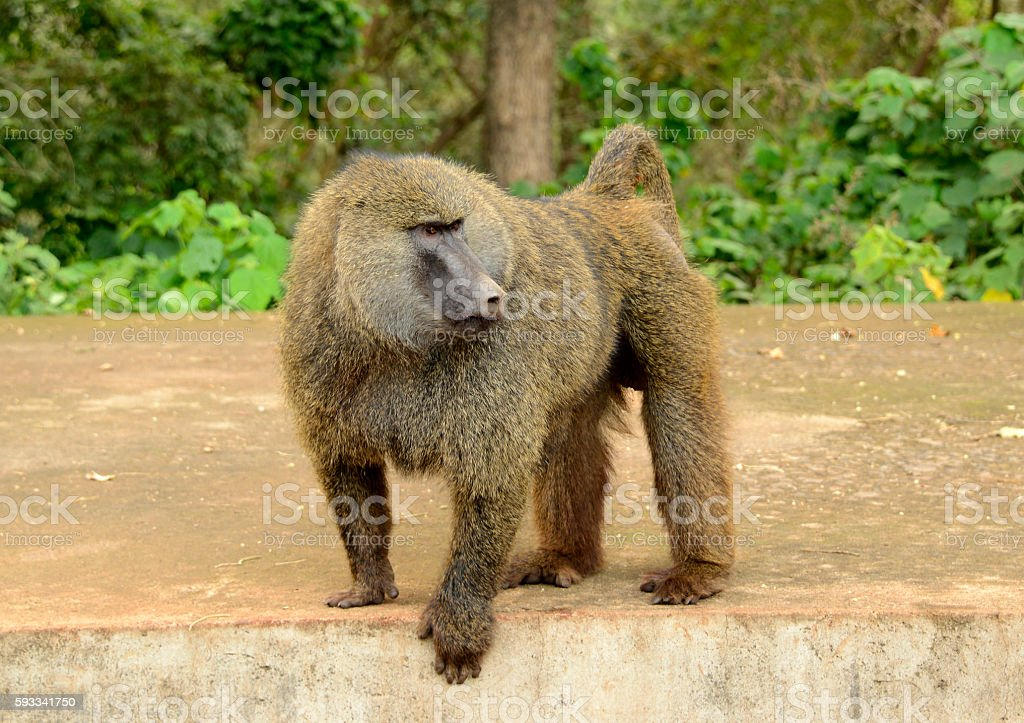 Wild male olive baboon closeup at Serengeti National Park stock photo