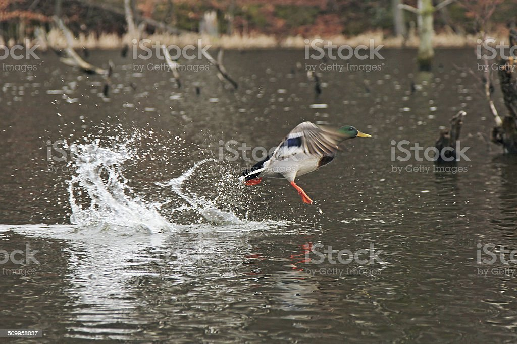 Wild Mallard Ducks - Anas platyrhynchos - drakes stock photo