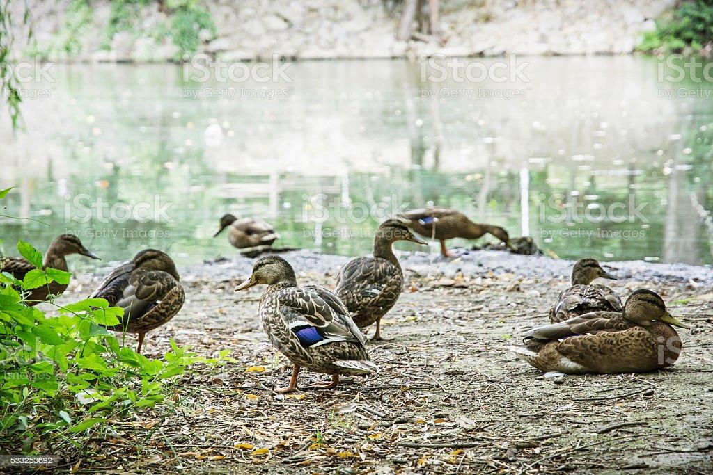 Wild mallard ducks on the lake shore, beauty in nature stock photo