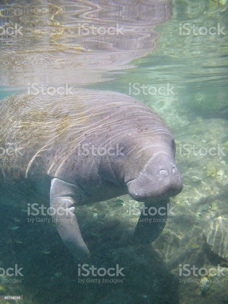 Wild manatee in Crystal River stock photo