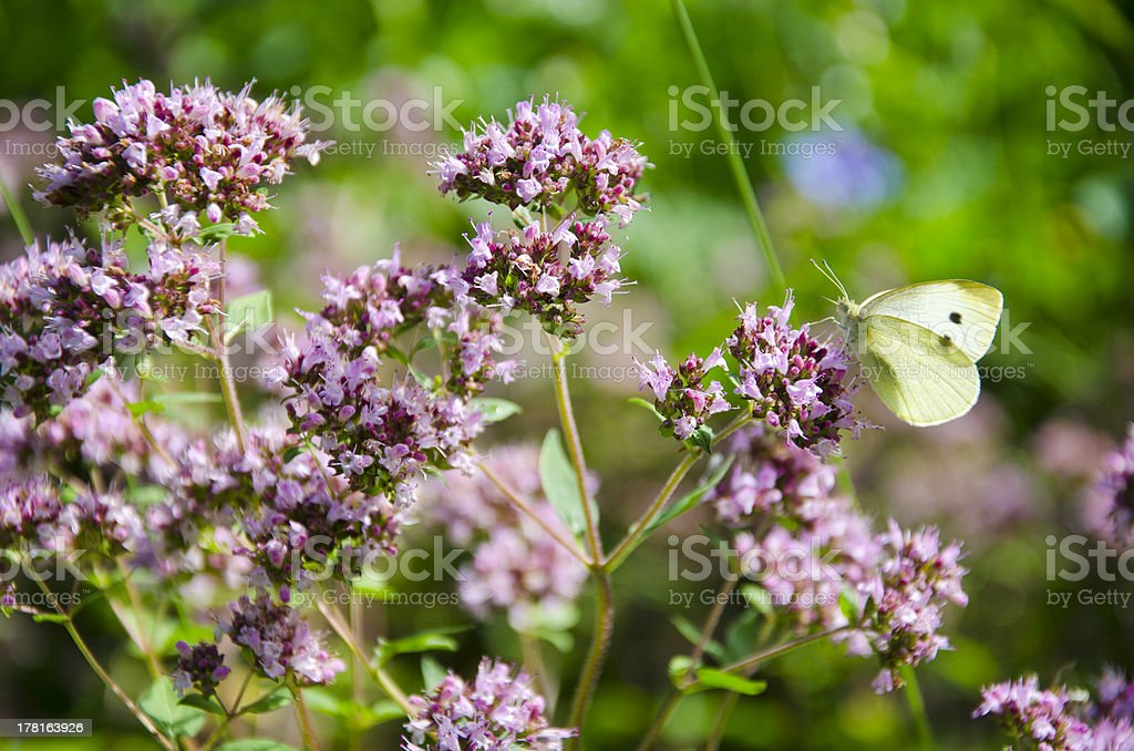 wild marjoram blossoms in garden and butterfly stock photo