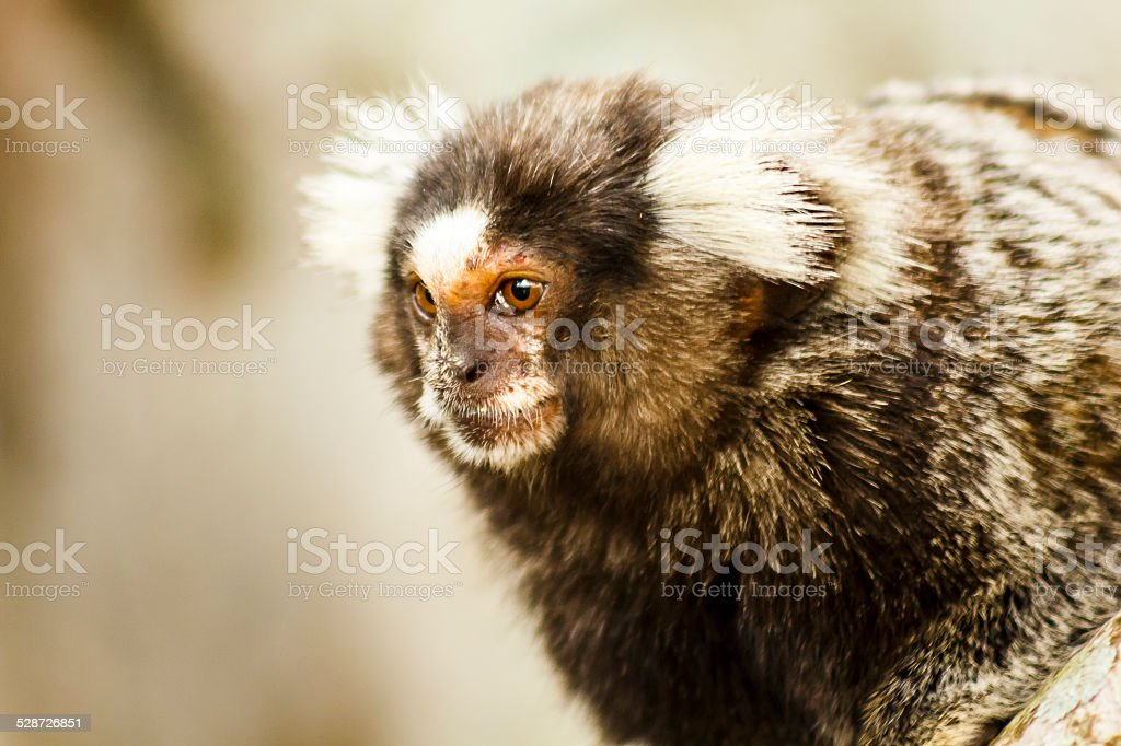 Wild Marmoset in Close-up stock photo