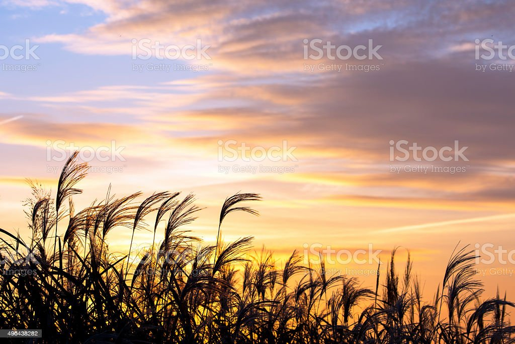 Wild Meadow Grass against Sunrise Sky stock photo