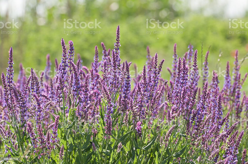 wild meadow purple flowers royalty-free stock photo