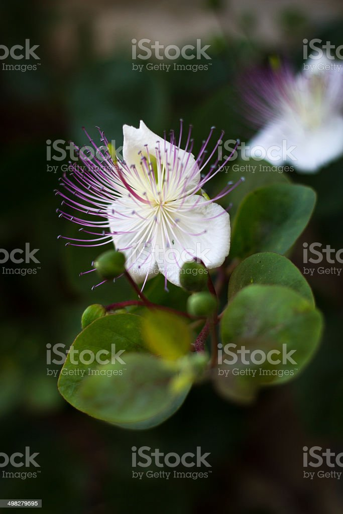 Wild Mediterranean Caper Flower in First Morning Light, Italy stock photo
