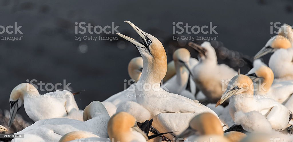 Wild migrating gannets at island Helgoland, Germany, summer time stock photo