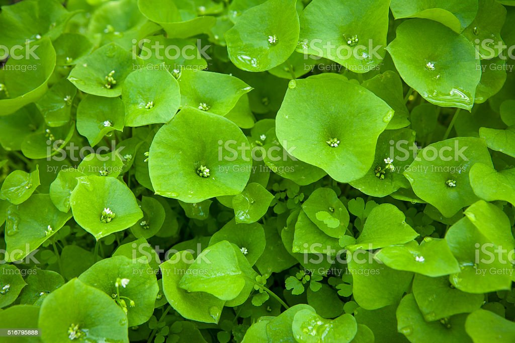 Wild Miner's Lettuce (Claytonia perfoliata) Growing In Santa Monica Mountains royalty-free stock photo