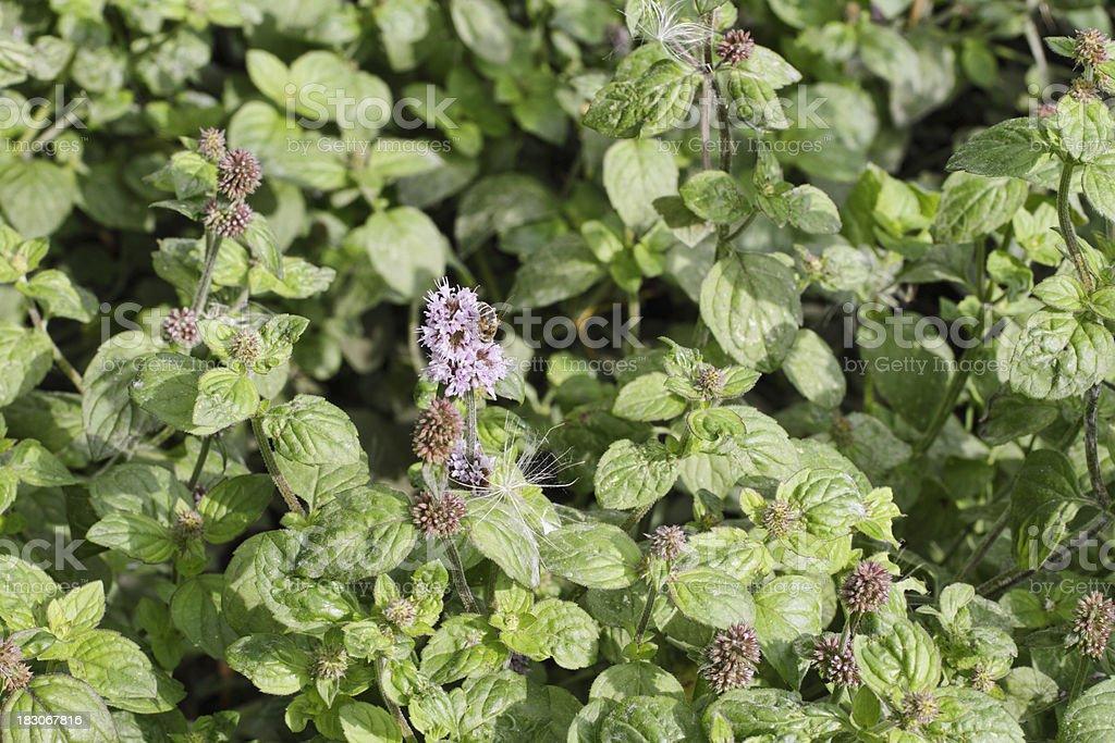 Wild mint Mentha aquatica blocking a stream royalty-free stock photo