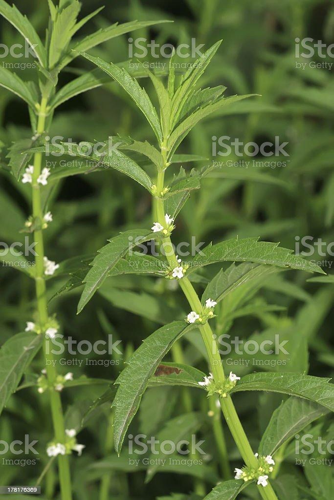 wild mint royalty-free stock photo