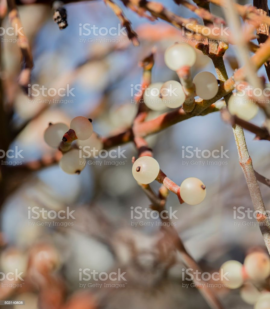 Wild Mistletoe stock photo