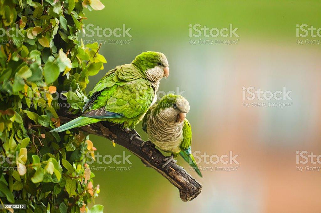 Wild Monk Parakeets stock photo
