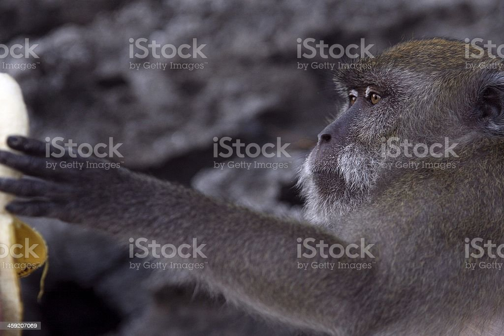 Wild monkey eating banana stock photo