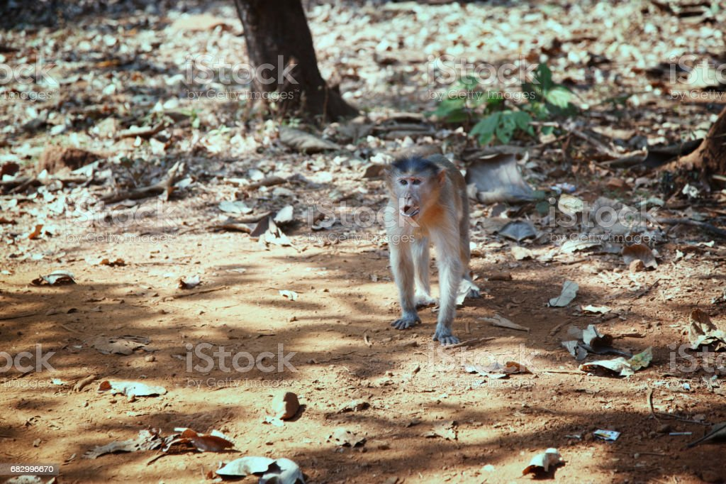 Wild monkey in the jungle of India stock photo