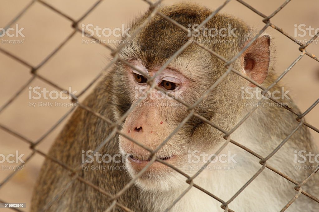 Wild monkey locked in a cage stock photo