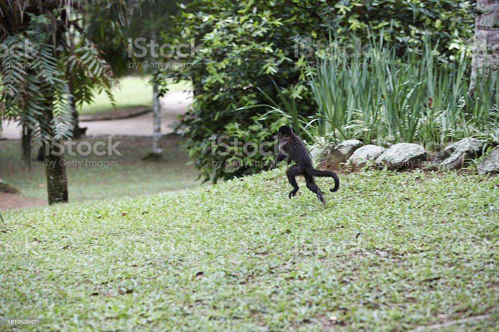 Wild monkey on the run royalty-free stock photo