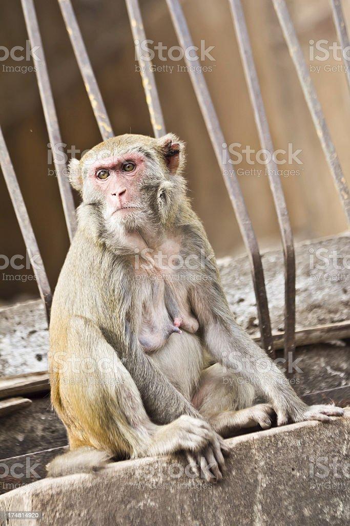 Wild Monkey royalty-free stock photo
