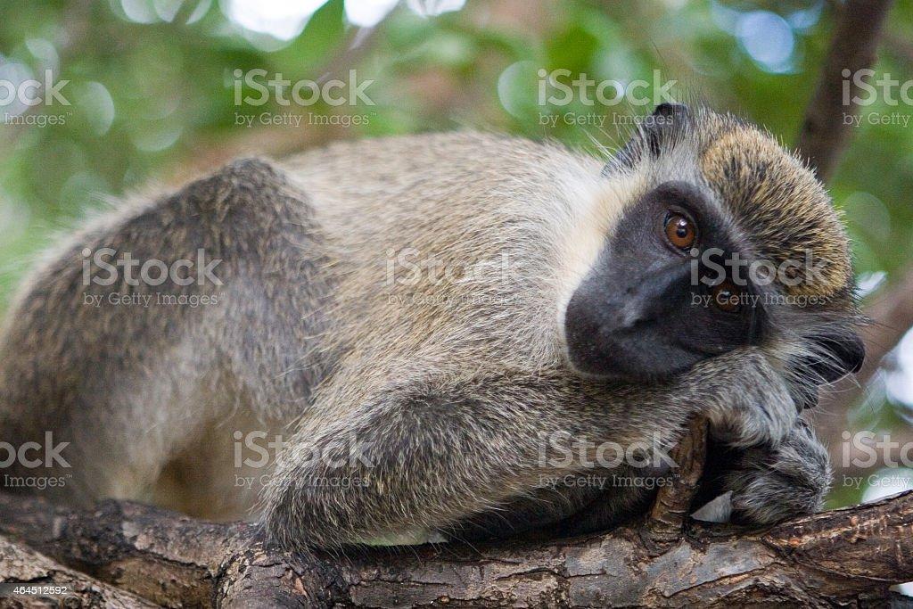 wild monkey relaxing stock photo