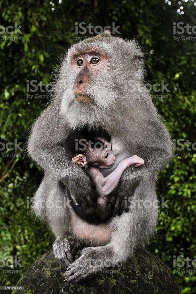 Wild monkey with baby royalty-free stock photo