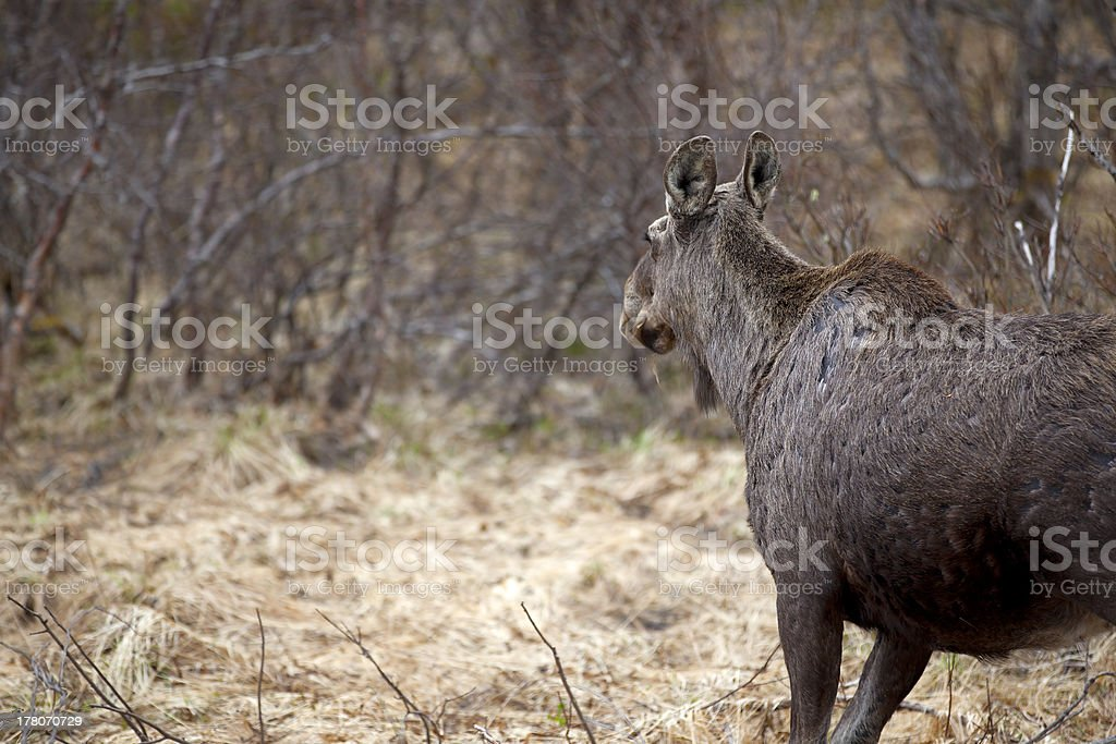 Wild Moose royalty-free stock photo