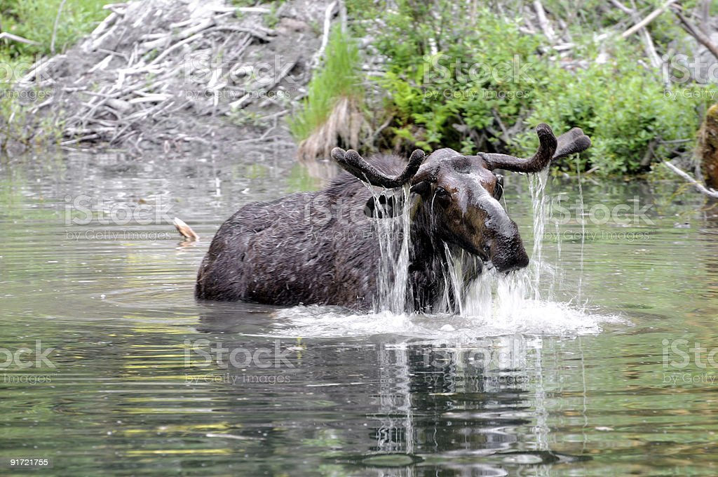 Wild Moose rising from water royalty-free stock photo