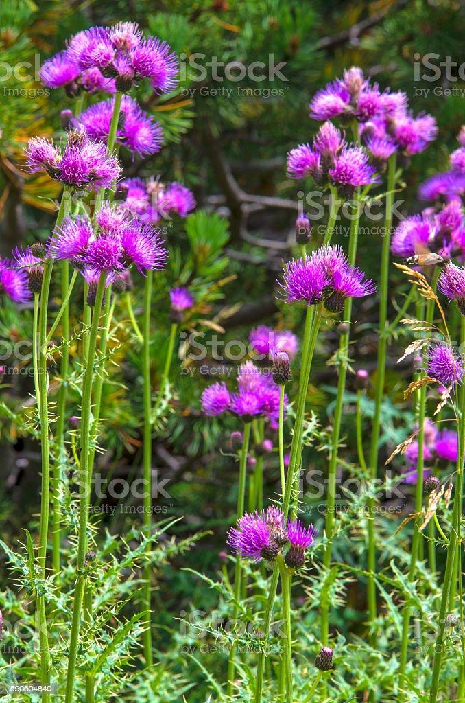Wild mountain flowers royalty-free stock photo