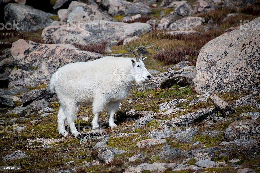 Wild mountain goat on Mount Evans tundra stock photo