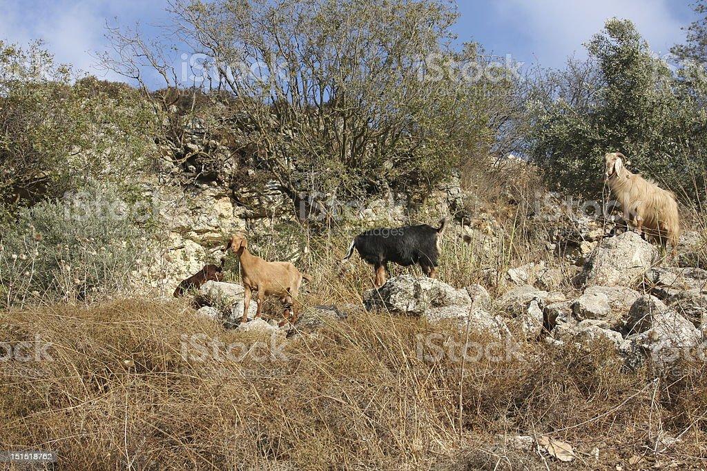 Cabras da montanha selvagem foto royalty-free