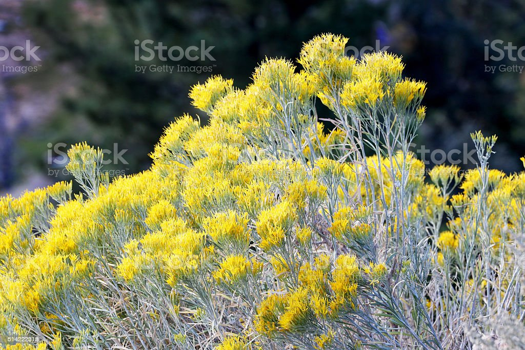 Wild Mountain Sage stock photo