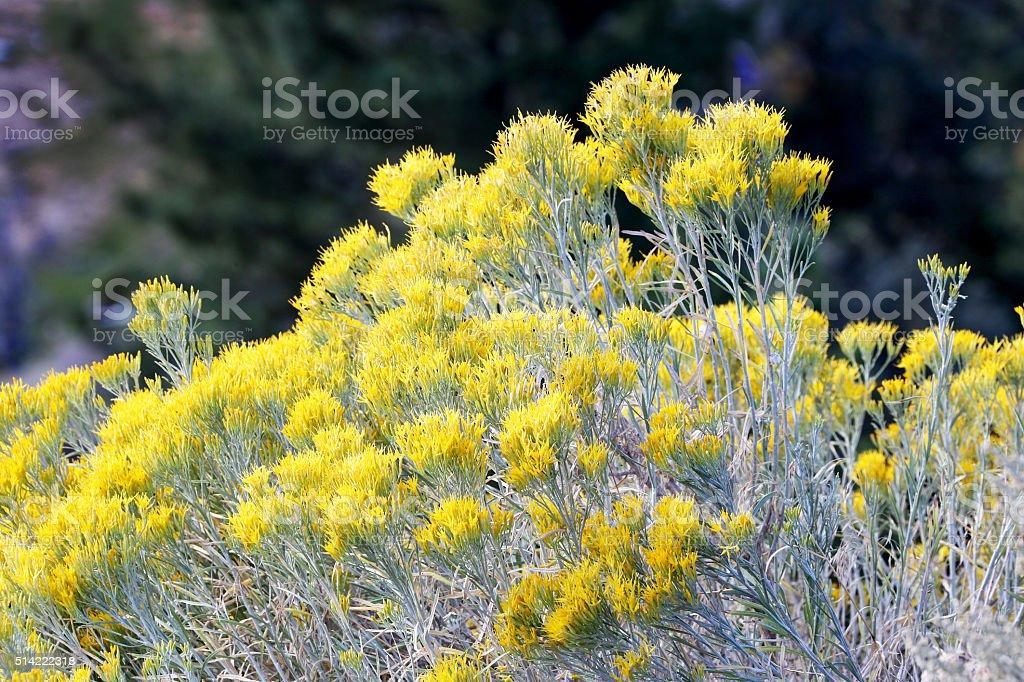 Wild Mountain Sage stock photo