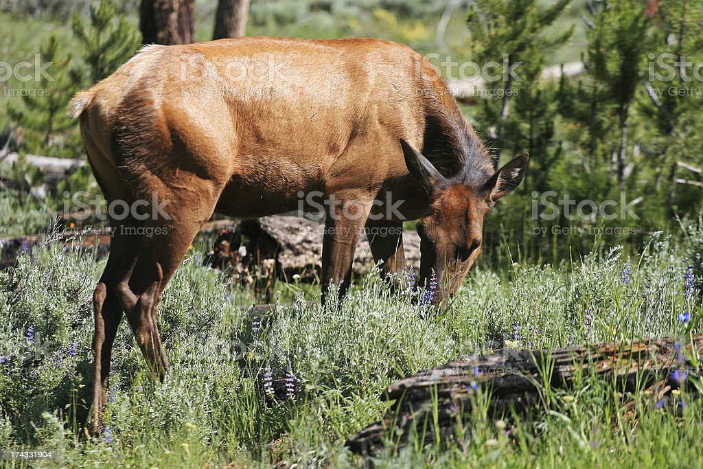 Wild mule Deer eating grass at Rocky mountain royalty-free stock photo