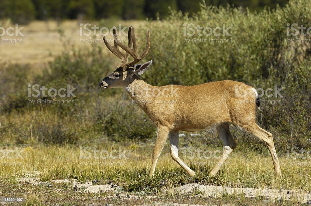 Wild Mule Deer Foraging in Willows stock photo