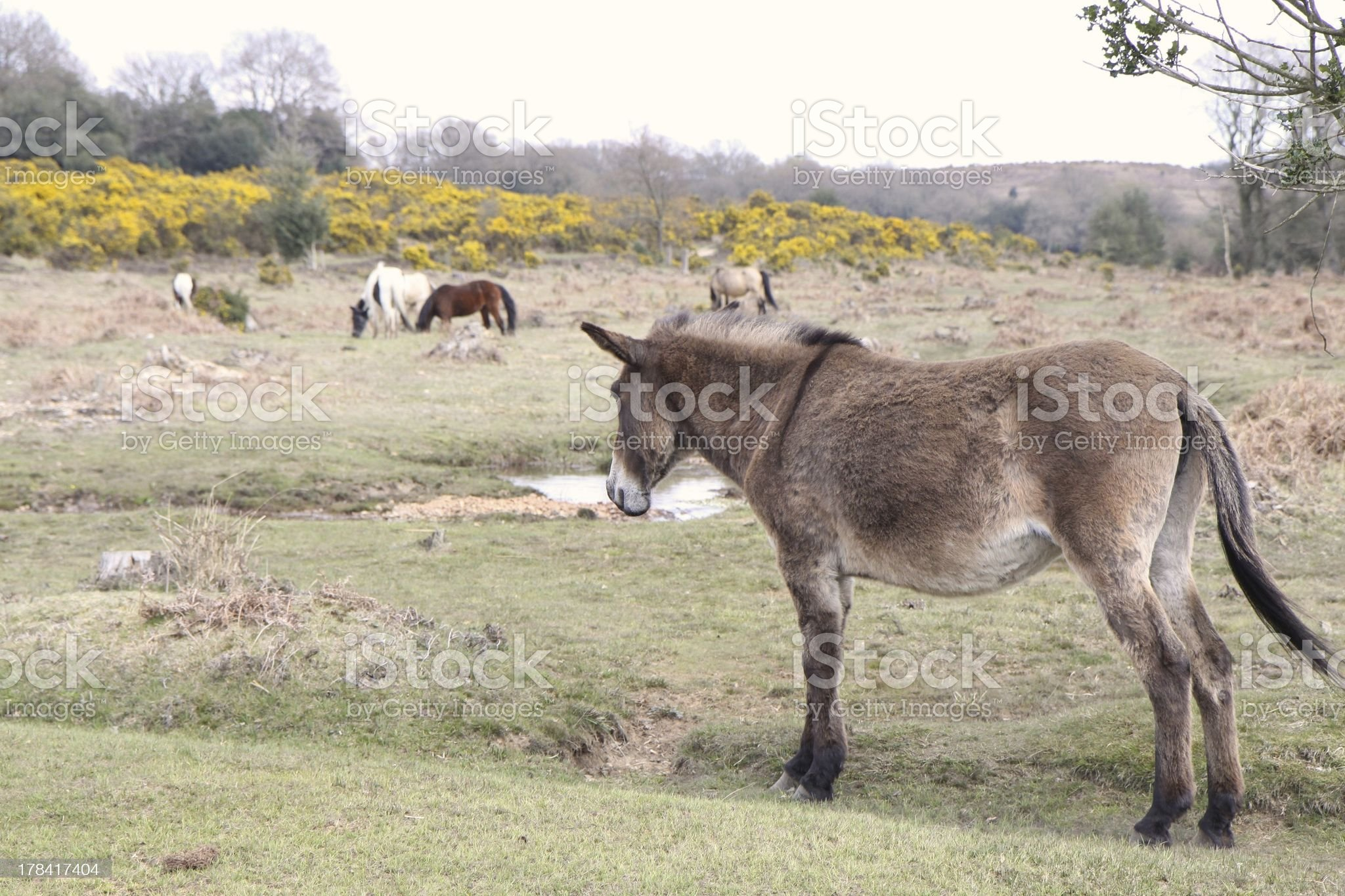 wild mule standing new forest national park royalty-free stock photo