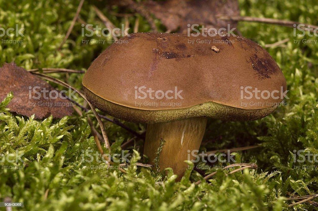 wild mushroom in the moss stock photo